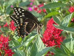 butterfly13-1
