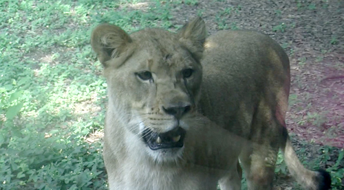 zoo_lioness